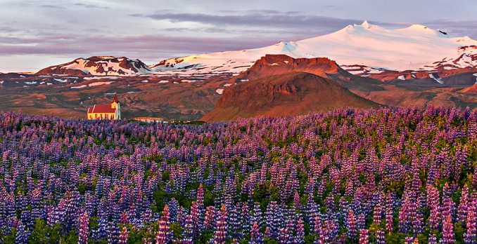 Lupine Field and Church 5578