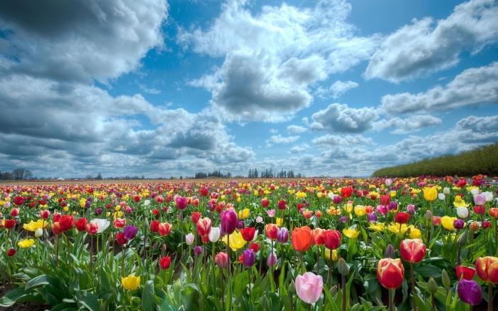 8872585-tulips-scenery