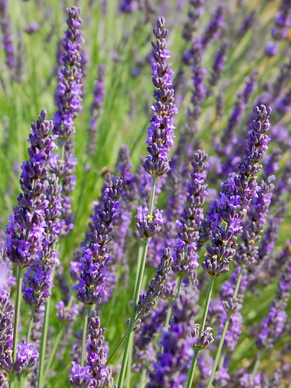 Reasons to Grow Lavender in Your Garden | GARDEN OF EADY
