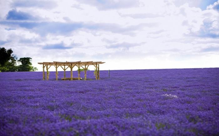Lavender field1
