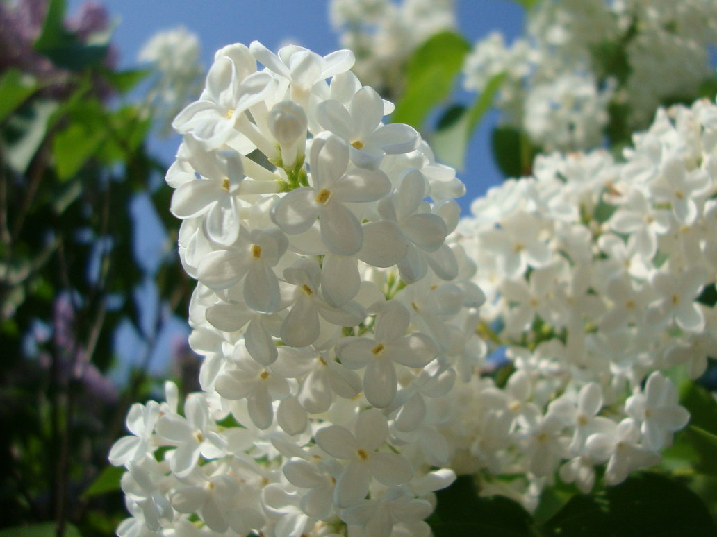 The Amazing Lilac Flowers Garden Of Eady