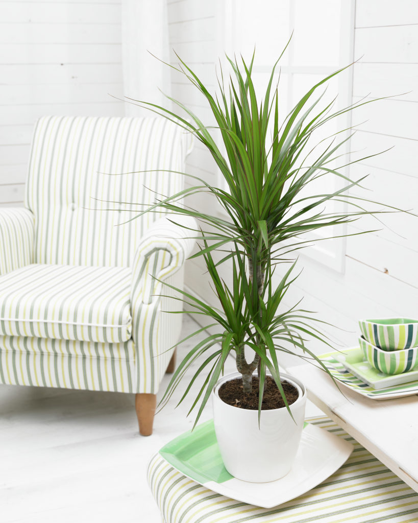 how to grow dracena indoors