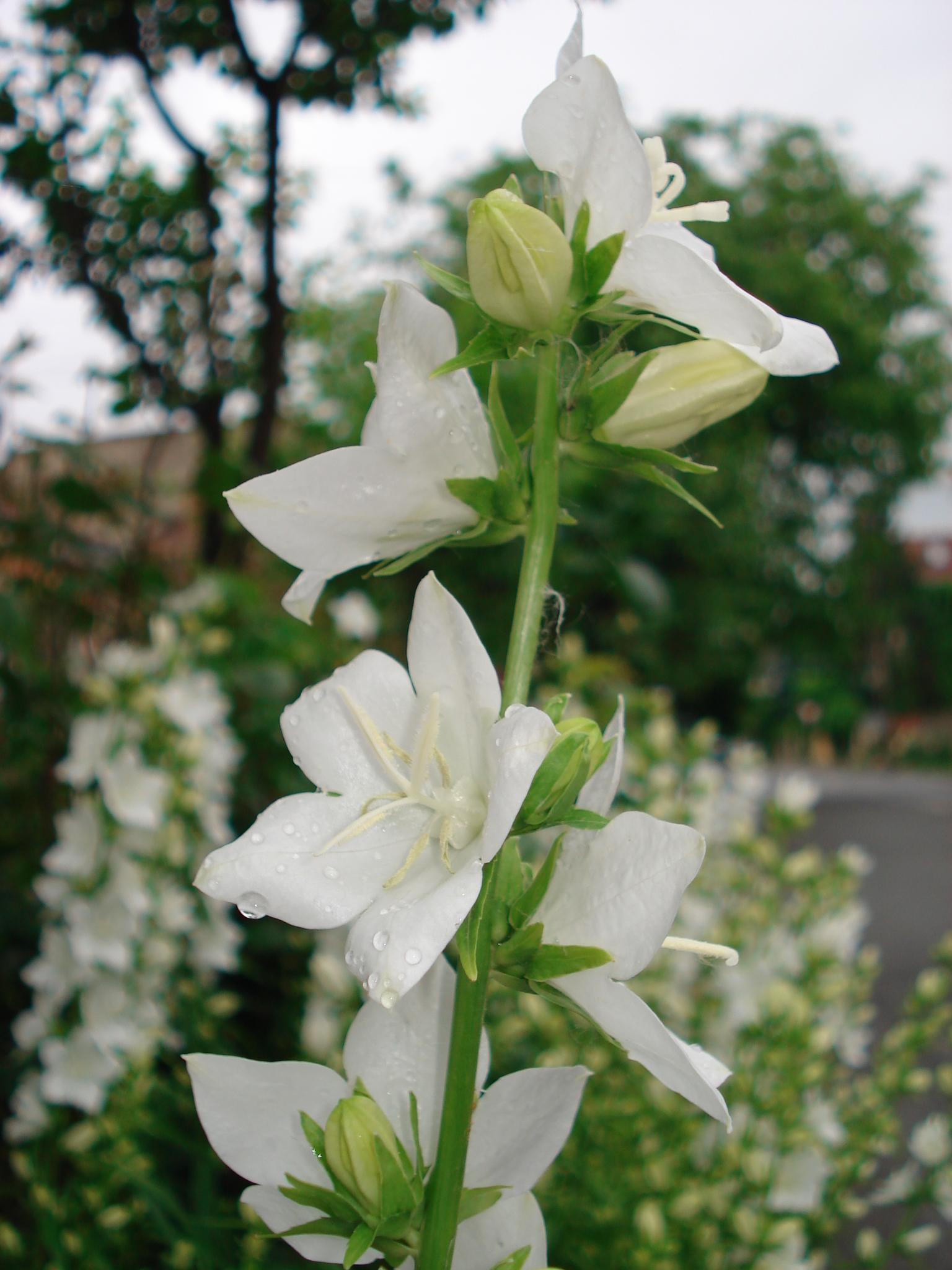 How to grow graceful white delphinium garden of eady white delphinium mightylinksfo