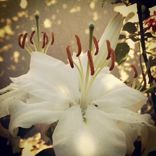 Casa Blanca Oriental lily